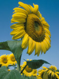 Close-Up of Sunflowers