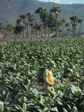 Crop Spraying in Field of Tobacco  Santiago  Dominican Republic