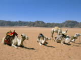 Camels in the Desert  Wadi Rum  Jordan  Middle East