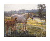 Mare And Foal In A Field Of Buttercups