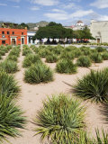 Agave Plants Used for Making Mezcal  Oaxaca City  Oaxaca  Mexico  North America