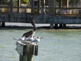 Pelican and Sea Birds on Post  Key West  Florida  USA