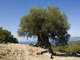 Very Old Olive Tree  Kefalonia (Cephalonia)  Ionian Islands  Greece