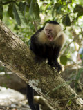 Capuchin or White Faced Monkey  Manuel Antonio Nature Reserve  Manuel Antonio  Costa Rica