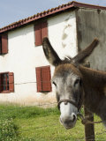 Donkey Near St Jean Pied De Port  Basque Country  Pyrenees-Atlantiques  Aquitaine  France