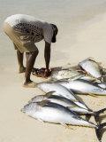 Fisherman Gutting Catch on Beach at Santa Maria on the Island of Sal (Salt)  Cape Verde Islands