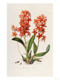 Star Orchid from 'Setrum Orchidaceum' by John Lindley  1838