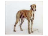 A Fawn Greyhound  1897