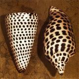 Cone Seashell