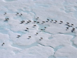 An Aerial View of a Herd of Caribou Migrating to Calving Grounds