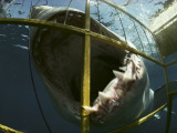A Great White Shark Attacks an Underwater Cage