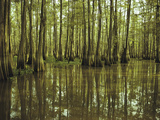 Cypress Trees Reflected in the Green Waters of Bayou Long