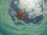 An Hibiscus Blossom Floats in the Waters Off St John Island