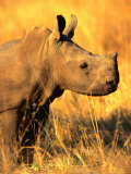 White Rhino Calf in Profile  Matobo National Park  Matabeleland South  Zimbabwe