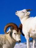 Two Dall Sheep  Denali National Park and Preserve  Alaska