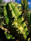 Candelabra Cactus  La Paz  Baja California Sur  Mexico