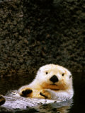 Sea Otter Floating on Its Back, Point Defiance Zoo, Tacoma, Washington Papier Photo par Mark Newman