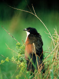 Blue-Headed Coucal  Lake Mburo National Park  Mbarara  Uganda