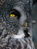 Face of Great Grey Owl  Canada