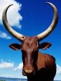Ankole Cow  Uganda