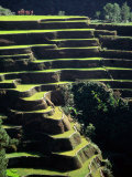 Rice Terraces  Ifugao Province  Luzon  Southern Tagalog  Philippines