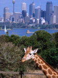 Giraffe at Tooronga Park Zoo with City Skyline Behind  Sydney  New South Wales  Australia