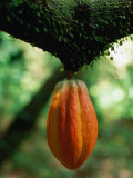 Cocoa Pod Growing on Tree  Grenada