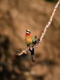 White-Fronted Bee-Eater Perched on Branch  Kafue National Park  North Western Province  Zambia