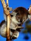 Koala in Tree at Healesville Sanctuary  Healesville  Victoria  Australia
