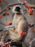 Black-Faced Langur in Flame Tree  Ranthambhore National Park  Rajasthan  India