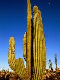 Cardon Cactus  La Paz  Baja California Sur  Mexico