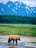 Yearling Brown Bear Cub in Habitat  Hallo Bay  Alaska