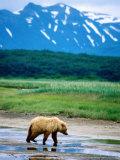 Yearling Brown Bear Cub in Habitat  Hallo Bay  Alaska