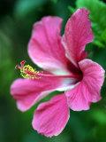 Hibiscus Flower in Morro Negrito  Chiriqui  Panama