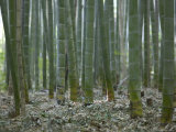 Bamboo Grove on Approach to Okochi Denjiro's Villa  Kyoto  Kinki  Japan