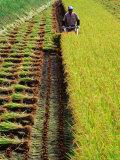 Harvesting Rice  Japan