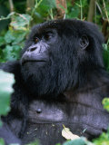 Mountain Gorilla Volcans National Park  Ruhengeri  Rwanda