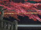 Red Autumn Tree at the Nikko-San Rinnoji Temple  Nikko  Kanto  Japan
