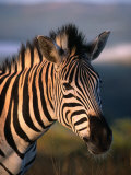 Plains Zebra  Burchell's Zebra  Hluhluwe-Umfolozi Park  Kwazulu-Natal  South Africa