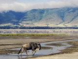 Blue Wildebeest Ngorongoro Crater  Arusha  Tanzania