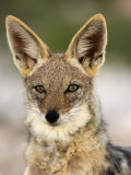 Black-Backed Jackal  Etosha National Park  Kunene  Namibia