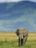 African Elephant  Ngorongoro Crater  Arusha  Tanzania
