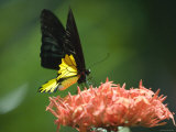 Black and Gold Birdwing at Kuala Lumpur Butterfly Park  Kuala Lumpur  Wilayah Persekutuan  Malaysia