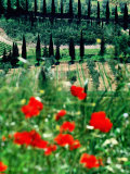 Rows of Cypress Trees with Poppies in Foreground  Castelnuovo Dell'Abate  Tuscany  Italy