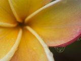 Frangipani Flower and Raindrops  Bangkok  Thailand