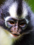 Thomas Leaf Monkey at Gunung Leuser National Park  Indonesia