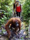 Jackie the Oragutan Leads Tourists to the Feeding Platform  Gunung Leuser National Park  Indonesia