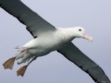 Gibson's Albatross  Kaikoura  New Zealand