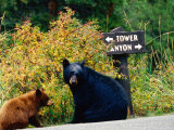Black Bear with Cub Sitting by Road with Signpost in Background  Yellowstone National Park  Wyoming