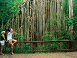 Protective Boardwalk Surrounding the Curtain Fig Tree Located on the Atherton Tablelands  Australia
